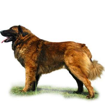 Estrelský pastiersky pes