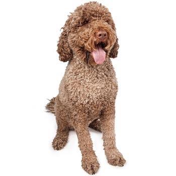 Portugalský vodný pes