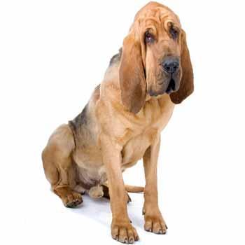 Svätohubertský pes - Bloodhound