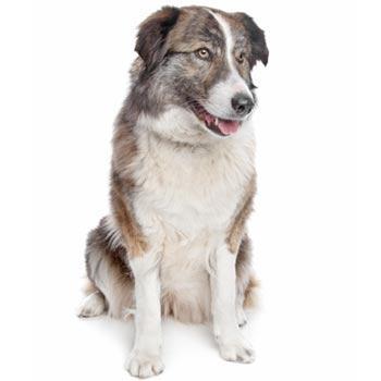 Aidi (Atlasský horský pes)