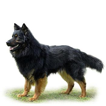 Chodský pes