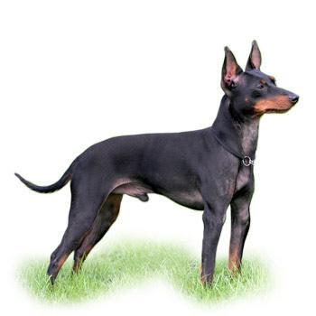 Toy Terrier (Anglický toy teriér)