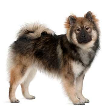 Eurázijský pes