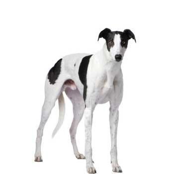 Anglický chrt (Anglický chrt, Greyhound)