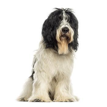 Holandský pastiersky pes