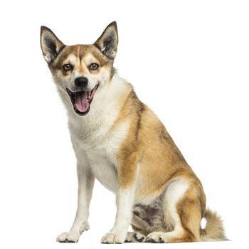Nórsky lundenhund