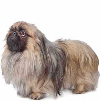 Pekinský palácový psík