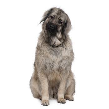 Šarplaninský pastiersky pes