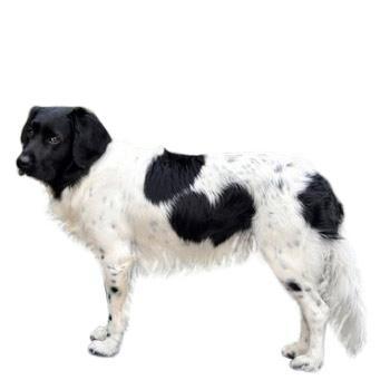 Stabijhound