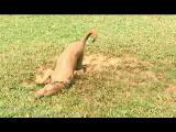 Válet se v bahně je klasická psí švanda, ne?