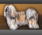 Klubová výstava havanských psíků, čivav, bostonů